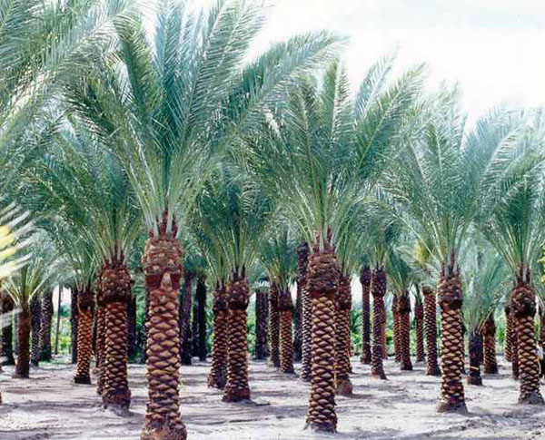 Palms Amp Trees Smart Choice Landscape Co